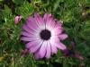 white-pink-flower