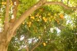 Orange tree in Granada