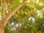 Orange tree in Granada