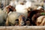 Sheep_SMS_warning